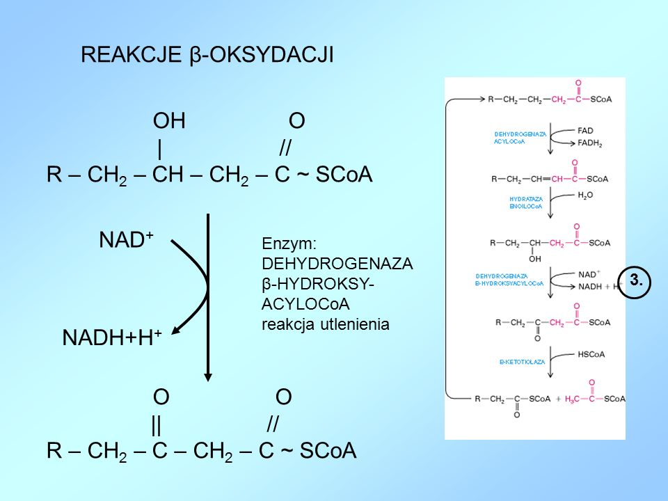 REAKCJE β-OKSYDACJI | // R – CH2 – CH – CH2 – C ~ SCoA NAD+ NADH+H+