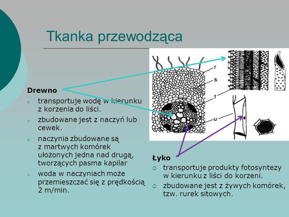 Tkanka przewodząca Drewno