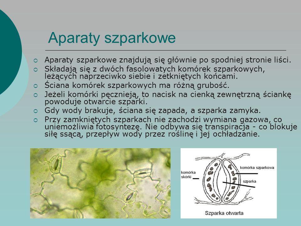 Aparaty szparkowe Aparaty szparkowe znajdują się głównie po spodniej stronie liści.