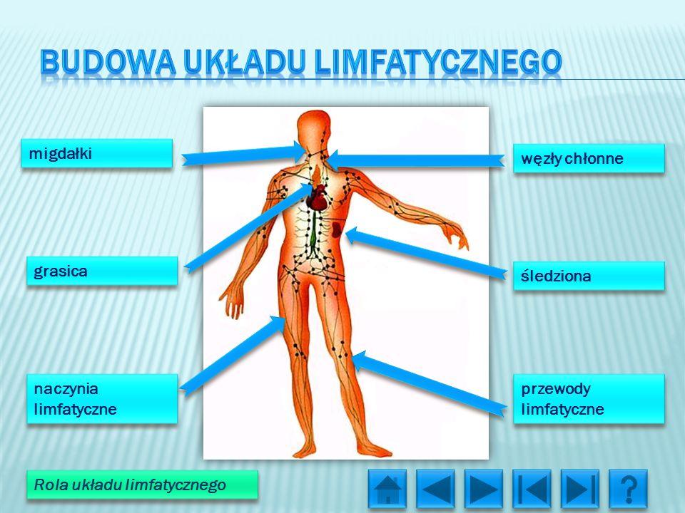 Budowa układu limfatycznego