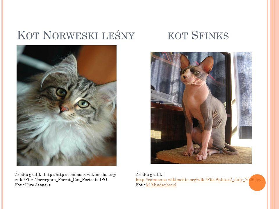 Kot Norweski leśny kot Sfinks