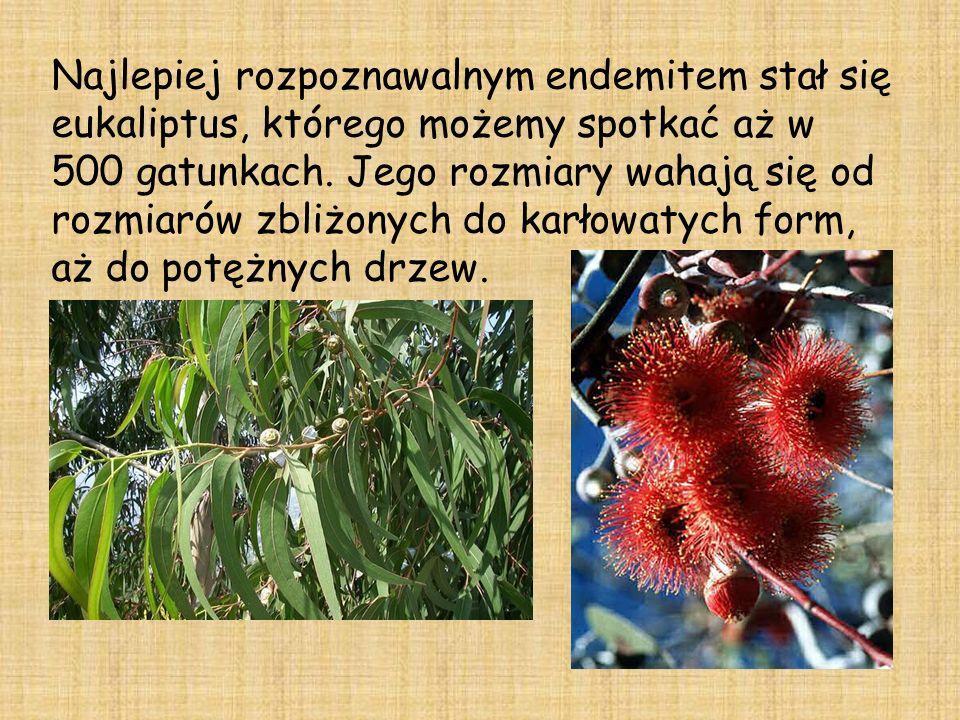 Najlepiej rozpoznawalnym endemitem stał się eukaliptus, którego możemy spotkać aż w 500 gatunkach.