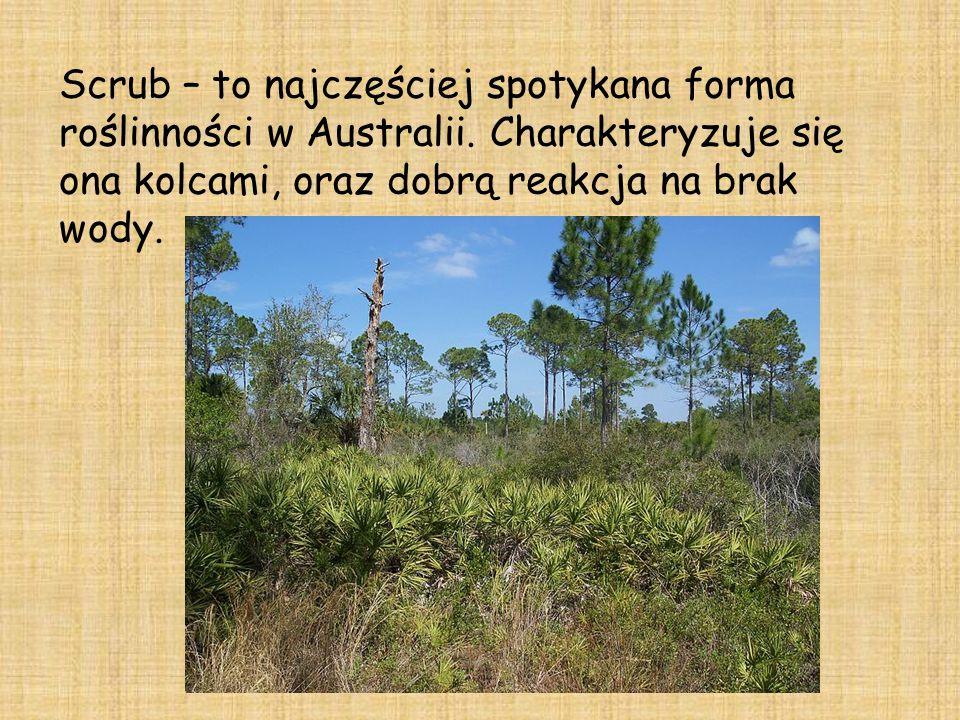 Scrub – to najczęściej spotykana forma roślinności w Australii
