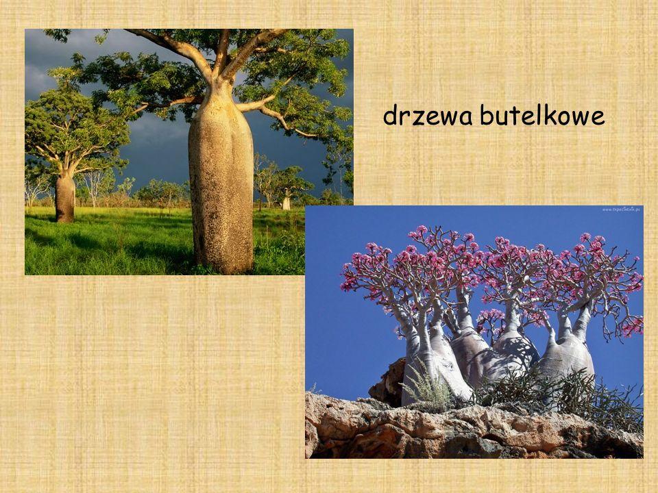 drzewa butelkowe