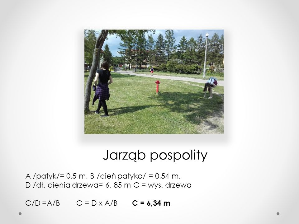 Jarząb pospolity A /patyk/= 0,5 m, B /cień patyka/ = 0,54 m, D /dł. cienia drzewa= 6, 85 m C = wys. drzewa.