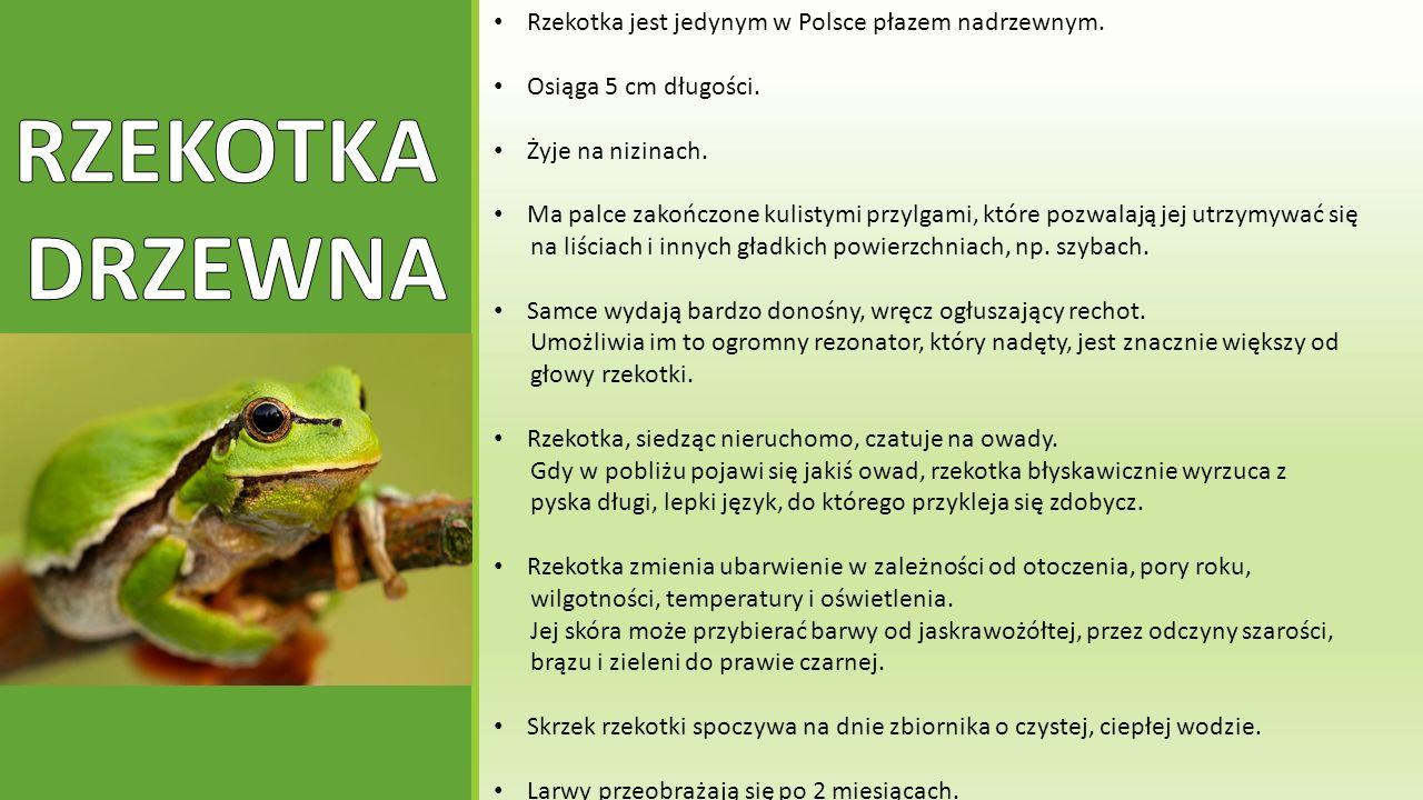 RZEKOTKA DRZEWNA Rzekotka jest jedynym w Polsce płazem nadrzewnym.