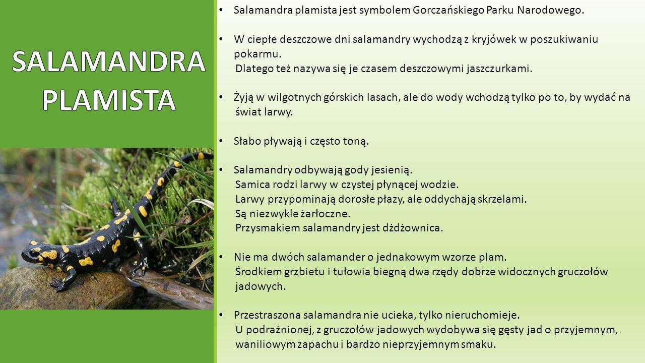 Salamandra plamista jest symbolem Gorczańskiego Parku Narodowego.