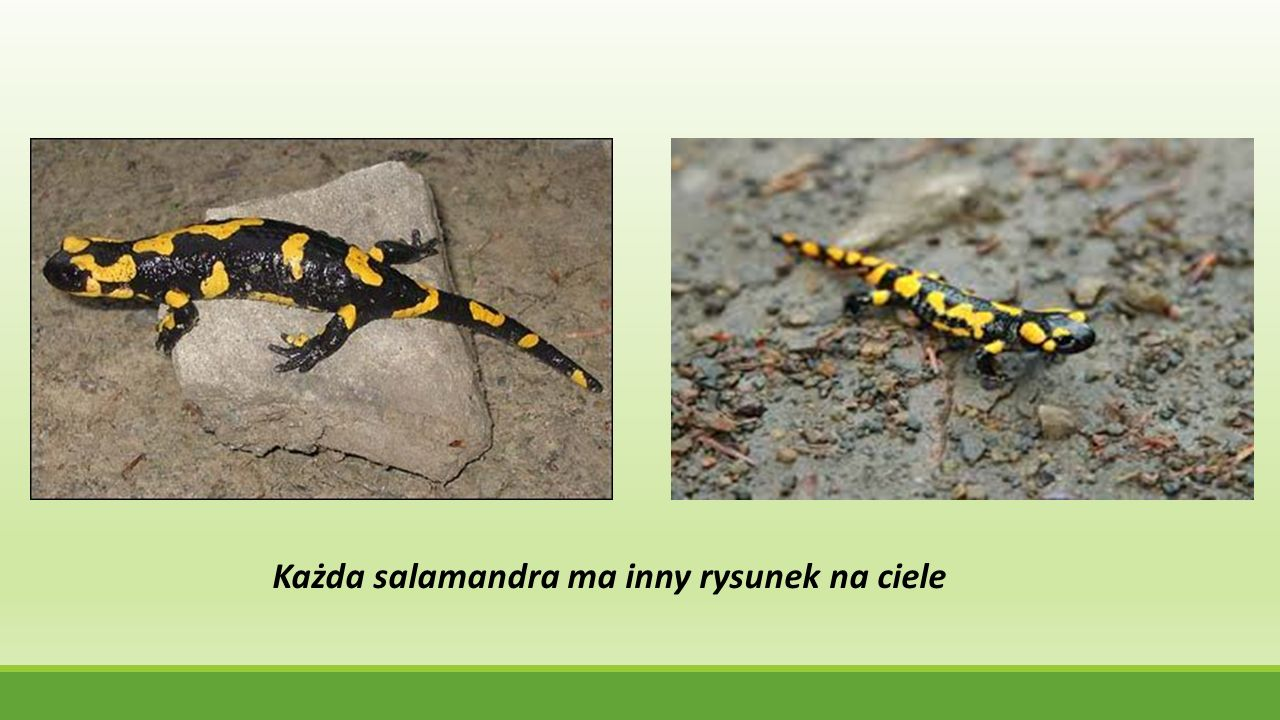 Każda salamandra ma inny rysunek na ciele