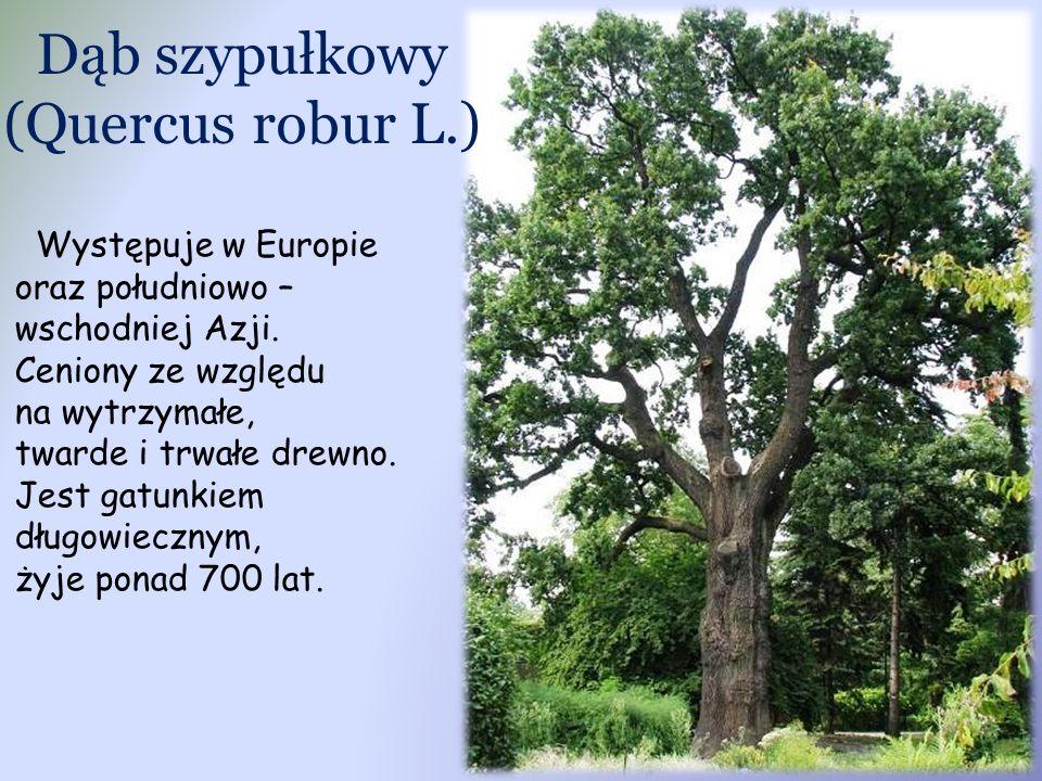 Dąb szypułkowy (Quercus robur L.)