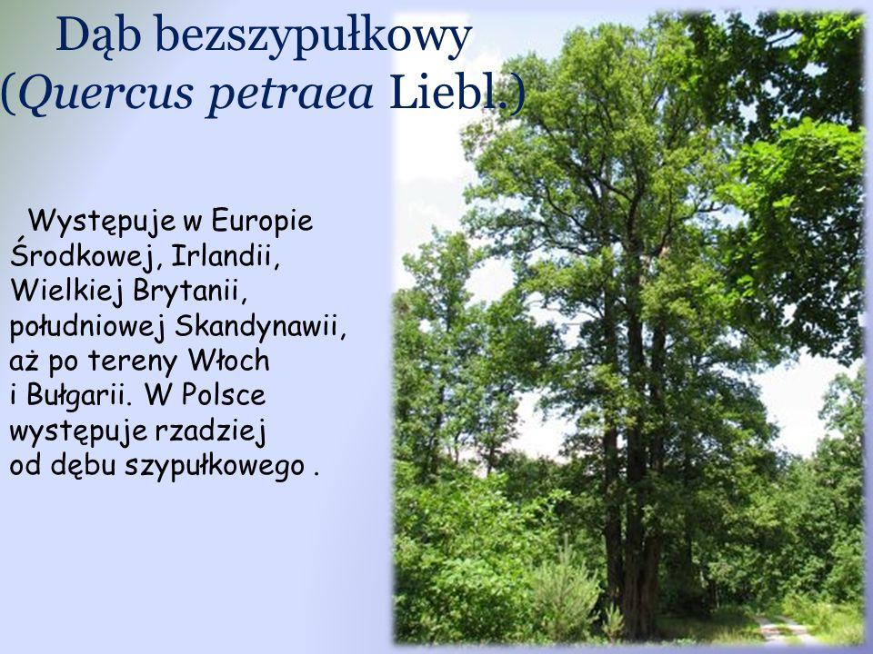 Dąb bezszypułkowy (Quercus petraea Liebl.)