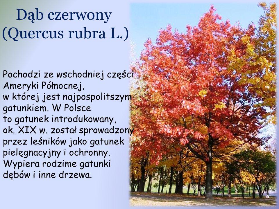 Dąb czerwony (Quercus rubra L.)