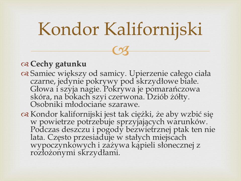 Kondor Kalifornijski Cechy gatunku