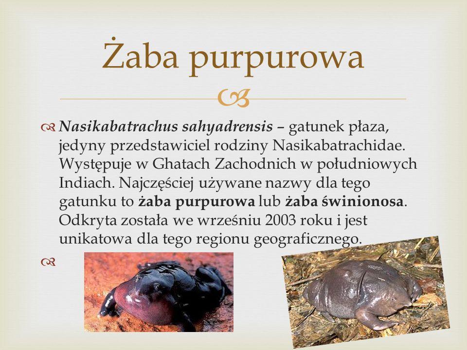 Żaba purpurowa
