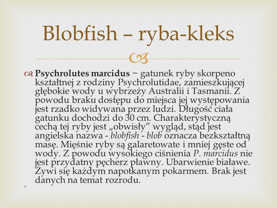 Blobfish – ryba-kleks