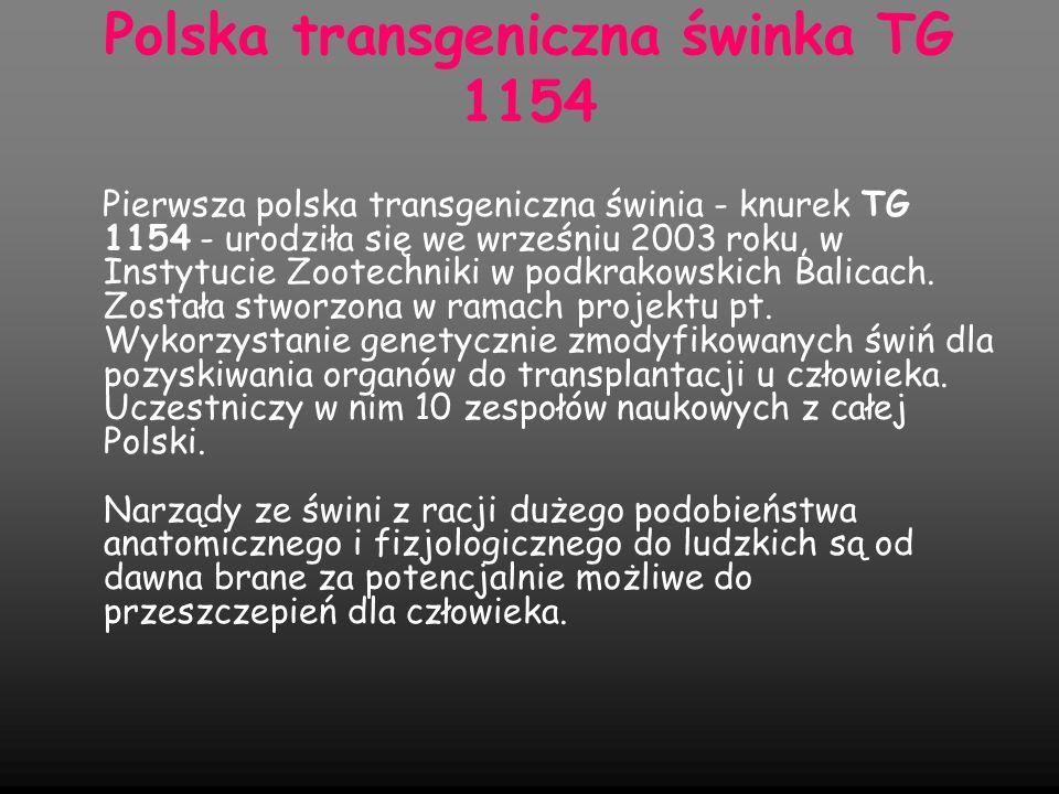 Polska transgeniczna świnka TG 1154