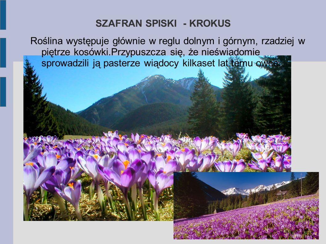 SZAFRAN SPISKI - KROKUS