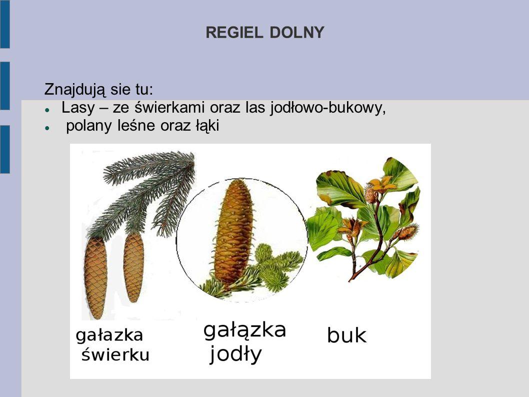 REGIEL DOLNY Znajdują sie tu: Lasy – ze świerkami oraz las jodłowo-bukowy, polany leśne oraz łąki