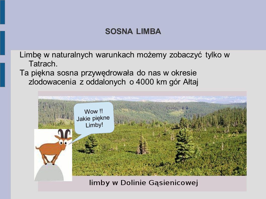 Limbę w naturalnych warunkach możemy zobaczyć tylko w Tatrach.