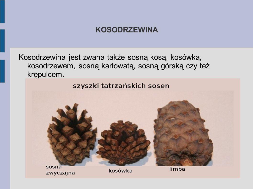 KOSODRZEWINA Kosodrzewina jest zwana także sosną kosą, kosówką, kosodrzewem, sosną karłowatą, sosną górską czy też krępulcem.