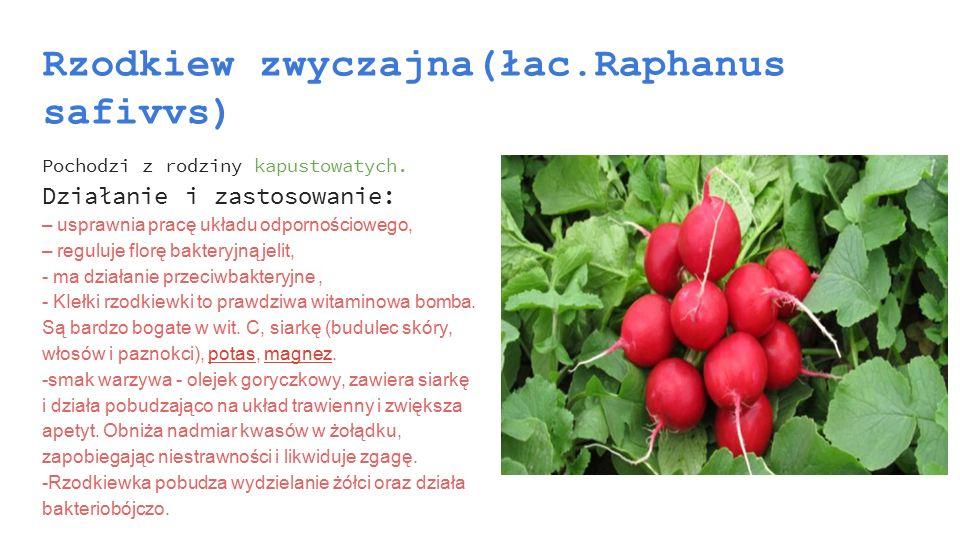 Rzodkiew zwyczajna(łac.Raphanus safivvs)