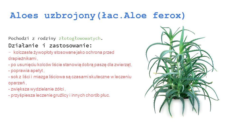 Aloes uzbrojony(łac.Aloe ferox)