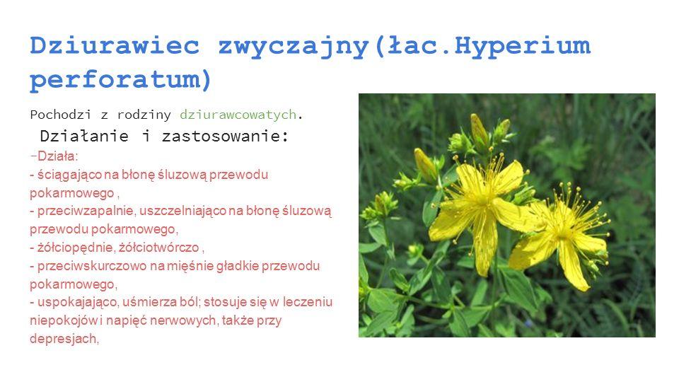 Dziurawiec zwyczajny(łac.Hyperium perforatum)