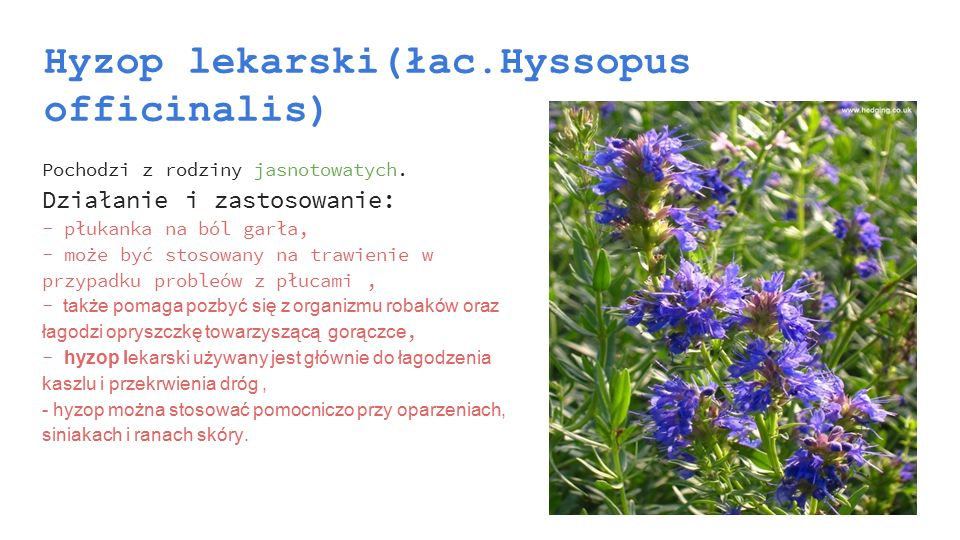 Hyzop lekarski(łac.Hyssopus officinalis)