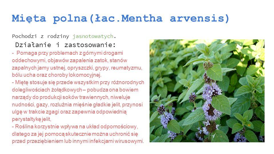 Mięta polna(łac.Mentha arvensis)