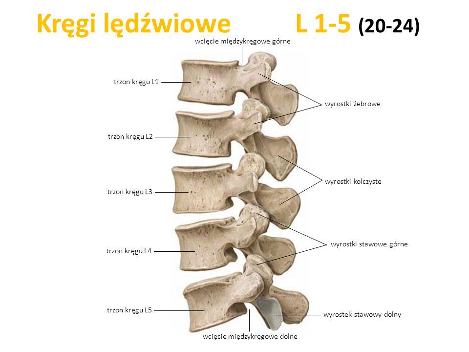 Kręgi lędźwiowe L 1-5 (20-24) wcięcie międzykręgowe górne