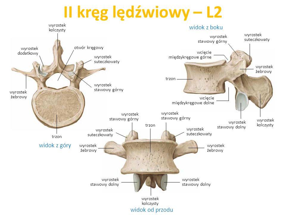 II kręg lędźwiowy – L2 widok z boku widok z góry widok od przodu