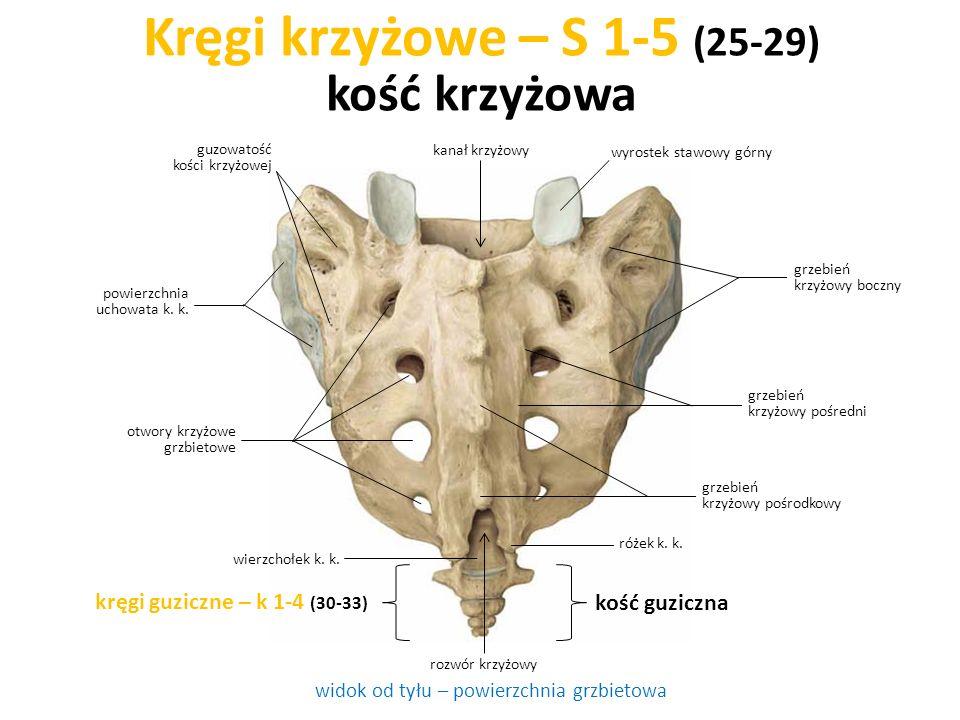 Kręgi krzyżowe – S 1-5 (25-29) kość krzyżowa