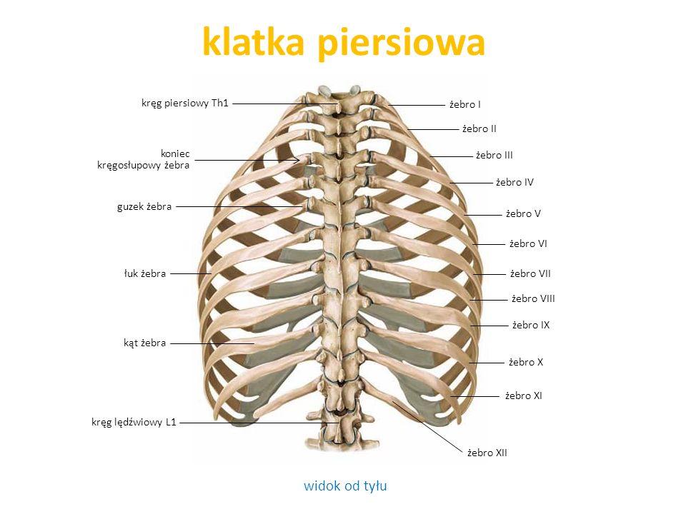 klatka piersiowa widok od tyłu kręg piersiowy Th1 żebro I żebro II