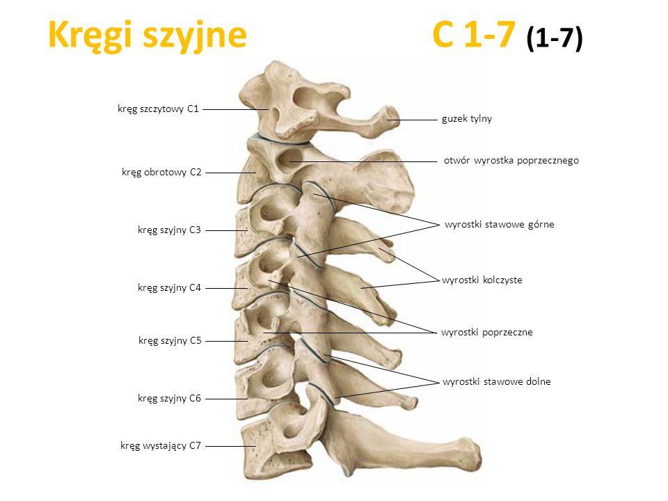 Kręgi szyjne C 1-7 (1-7) kręg szczytowy C1 guzek tylny