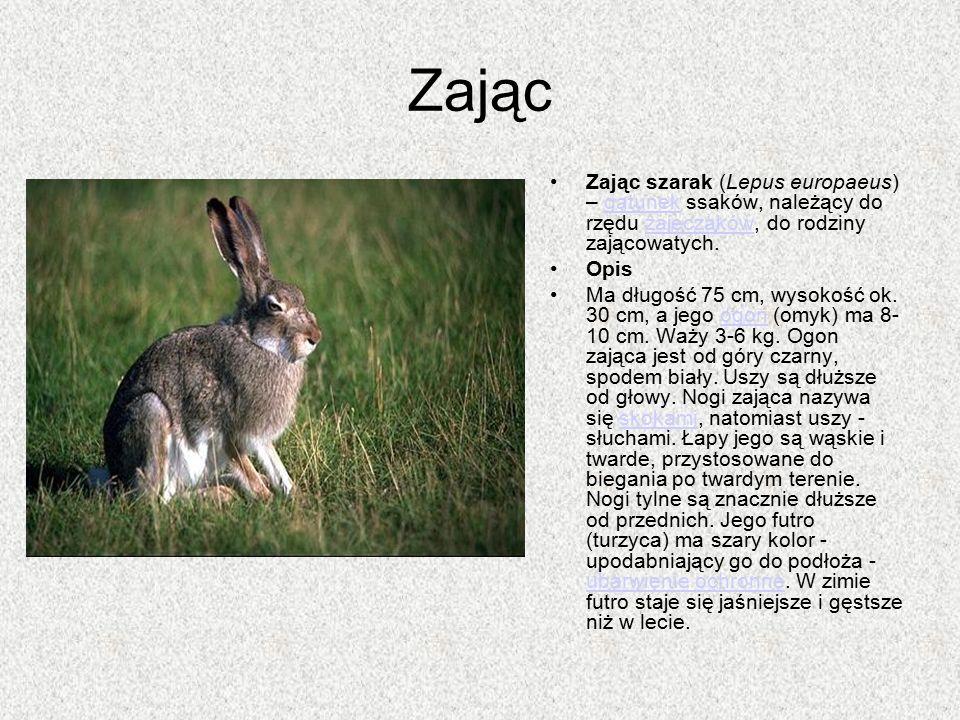 Zając Zając szarak (Lepus europaeus) – gatunek ssaków, należący do rzędu zajęczaków, do rodziny zającowatych.