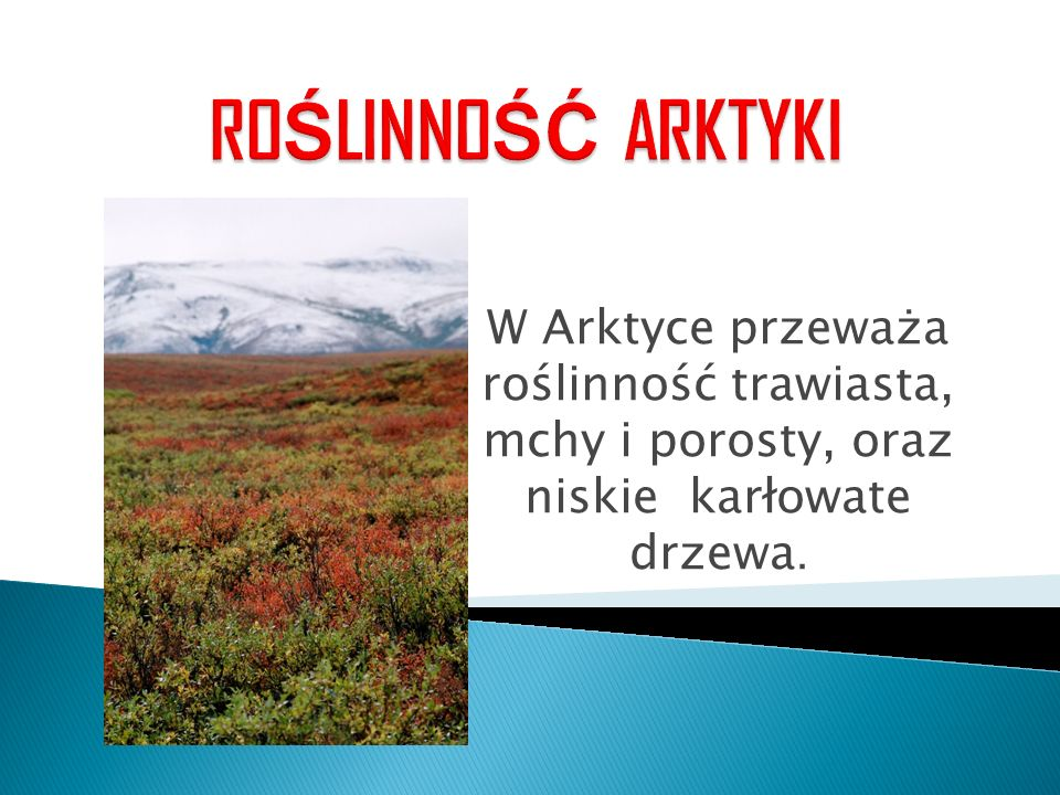 ROŚLINNOŚĆ ARKTYKI W Arktyce przeważa roślinność trawiasta, mchy i porosty, oraz niskie karłowate drzewa.