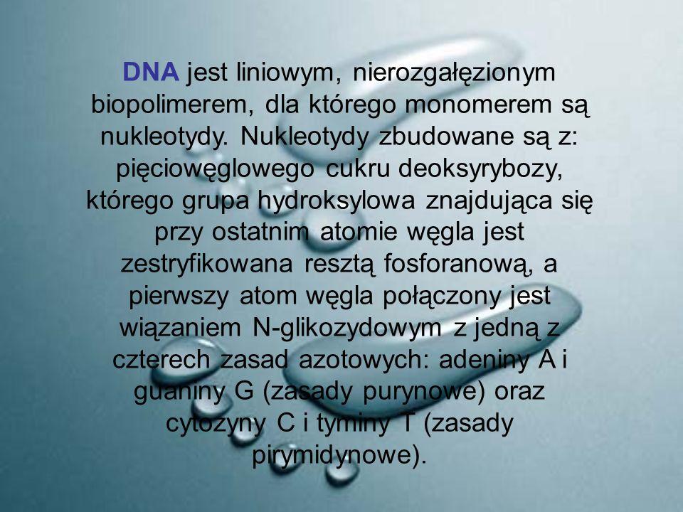 DNA jest liniowym, nierozgałęzionym biopolimerem, dla którego monomerem są nukleotydy.