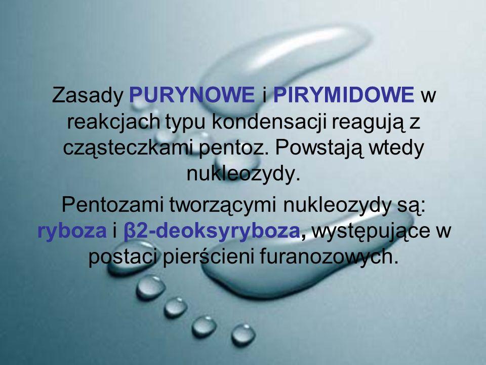 Zasady PURYNOWE i PIRYMIDOWE w reakcjach typu kondensacji reagują z cząsteczkami pentoz. Powstają wtedy nukleozydy.
