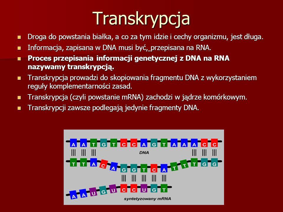 Transkrypcja Droga do powstania białka, a co za tym idzie i cechy organizmu, jest długa. Informacja, zapisana w DNA musi być, przepisana na RNA.