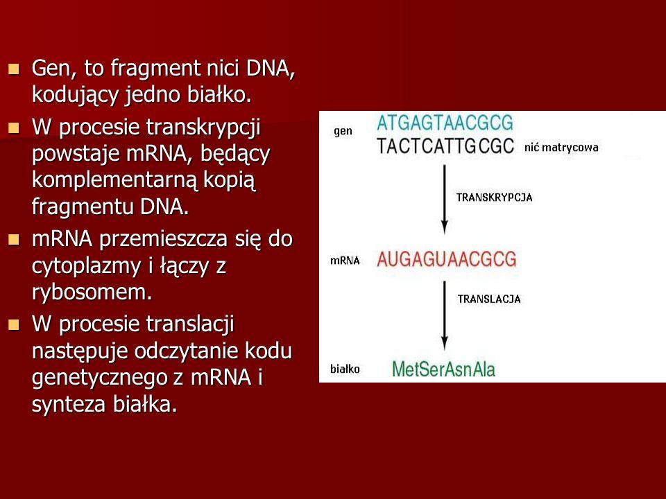 Gen, to fragment nici DNA, kodujący jedno białko.