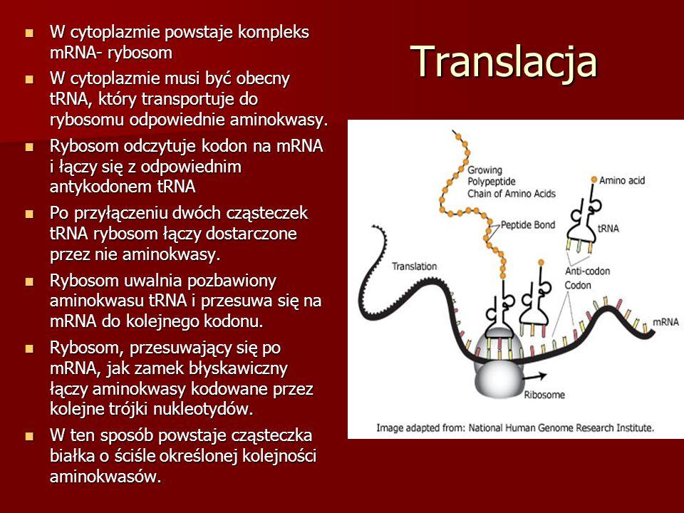 Translacja W cytoplazmie powstaje kompleks mRNA- rybosom