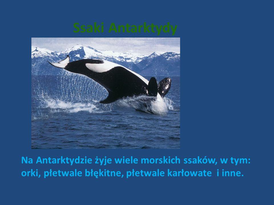 Ssaki Antarktydy Na Antarktydzie żyje wiele morskich ssaków, w tym: orki, płetwale błękitne, płetwale karłowate i inne.