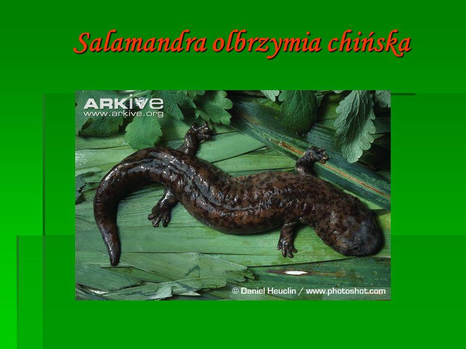 Salamandra olbrzymia chińska
