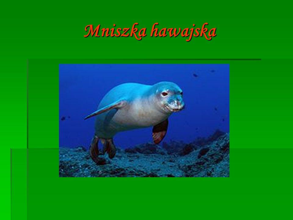 Mniszka hawajska