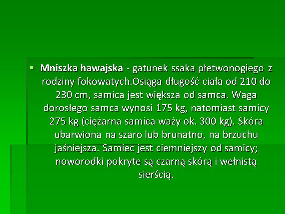 Mniszka hawajska - gatunek ssaka płetwonogiego z rodziny fokowatych