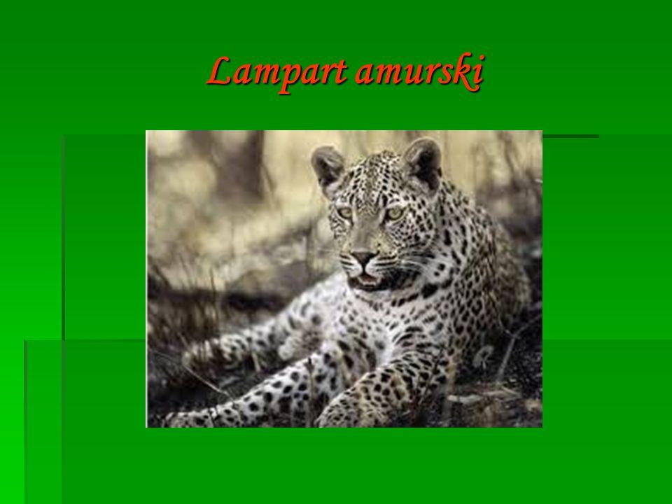 Lampart amurski