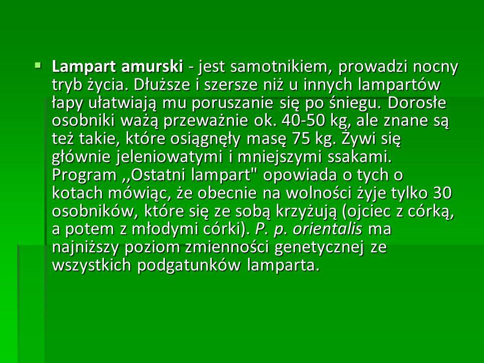 Lampart amurski - jest samotnikiem, prowadzi nocny tryb życia