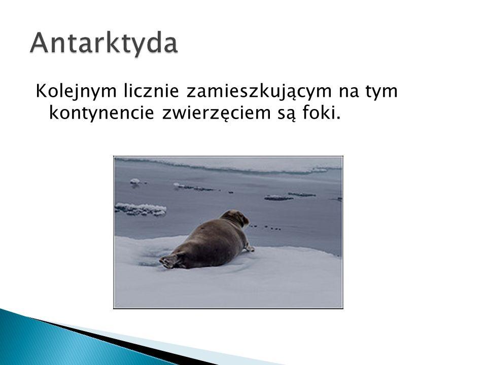 Antarktyda Kolejnym licznie zamieszkującym na tym kontynencie zwierzęciem są foki.