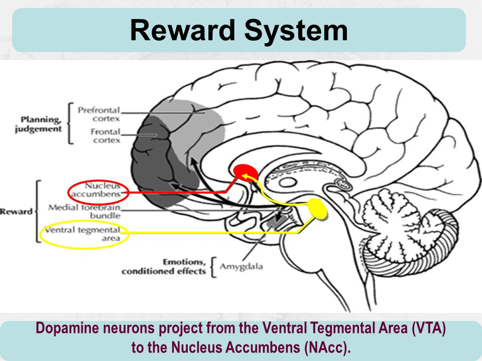 Reward System Dopamine neurons project from the Ventral Tegmental Area (VTA) to the Nucleus Accumbens (NAcc).