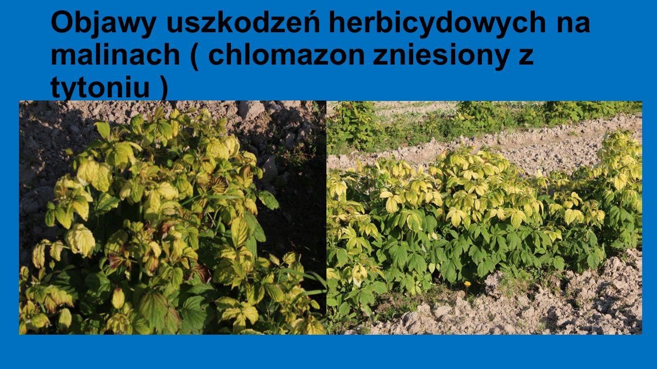 Objawy uszkodzeń herbicydowych na malinach ( chlomazon zniesiony z tytoniu )