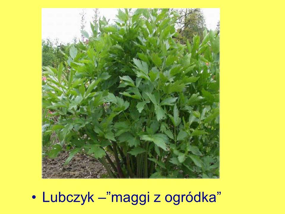 Lubczyk – maggi z ogródka